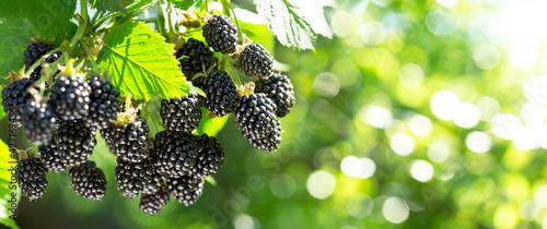 Fototapeta Branch of ripe blackberries in a garden on green background obraz