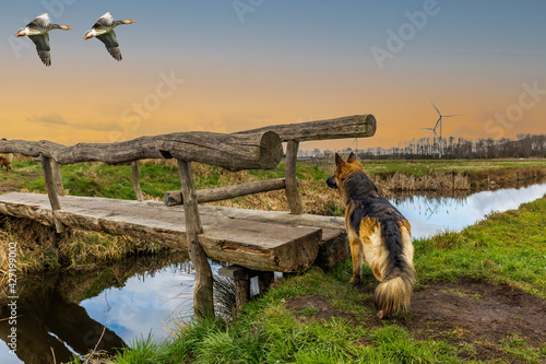 Fotografie, Obraz Landscape during sunset with long-haired German shepherd and greylag geese flyin