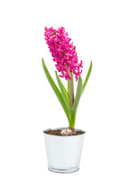 Hyacinth Flower In Tin Pot Isolated White Background. Spring Magenta Flower