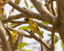 Masked Weaver Yellow Tropical Bird In Eastern Province Of Saudi Arabia