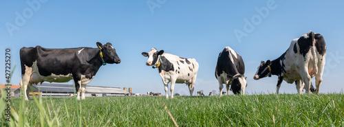 Fototapeta black and white spotted cows in green meadow near farm in dutch province of zeeland obraz