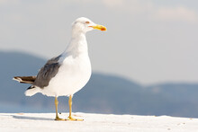 A Close-up Portrait Of A Seagull In Full Glory Against The Backdrop Of The Sea And Mountains. Copy Space.