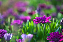 Selective Focus. Purple African Daisy Flowers Close-up On Blurred Background