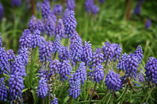 Clusters Of Tiny Bell Shaped Blue Flowers Of The Grape Hyacinth.