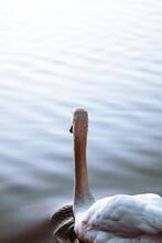White Swan With Orange Beak Swimming On A White Water Lake