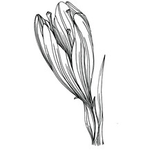 Crocus Or Saffron Flower. Floral Botanical Flower. Isolated Illustration Element. Vector Hand Drawing Wildflower For Background, Texture, Wrapper Pattern, Frame Or Border.