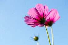 Beautiful Pink Color Cosmos (Mexican Aster) Flower With Blue Sky Background