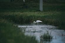 Snowy White Egret Heron Drinking Water