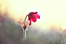 Artistic Photo With Very Soft Focus. Spring Flowers Dream-grass In A Misty Haze In The Early Morning In The Forest.