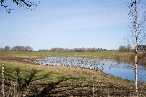 Canvas Print A large puddle in the Latvian countryside with white birches on the side and a lot of geese in the large puddle that have just arrived from the warm lands