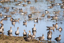 A Large Puddle In The Spring On The Edge Of A Cereal Field Where A Lot Of Geese Have Gathered, Which Have Just Returned In Flocks From The Warm Country To Latvia.