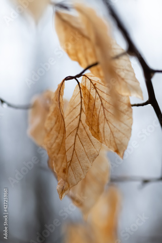 Blätter Laub Buche Fagus Blatt verwelkt braun alt Verfall Herbst Winter Baum Bäu Fototapeta