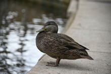 Mallard Duck Of North America.
