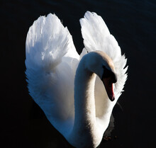 Close Up Shot Of A Mute Swan On The Water