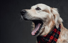 Emotional Purebreed Doggy With A Scarf Posing In Dark Background