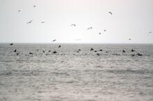 Stado  Ptaków żerujące Na ławicy Ryb