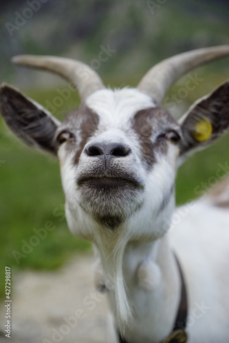 Fototapeta Ziege mit Hörnern starrt in die Kamera