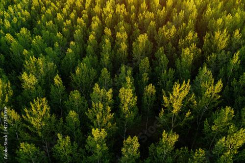Fotografie, Obraz Green aspen tree forest from drone pov