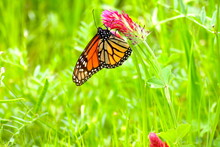 Monarch Butterfly On A Red Flower