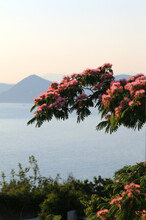 Branch Of A Tree With Pink Flowers Against The Background Of The Sea And Mountains. The Tree Is Albizia Lankaran (lat.Albizia Julibrissin), Also Called Silk Tree Or Silk Acacia.