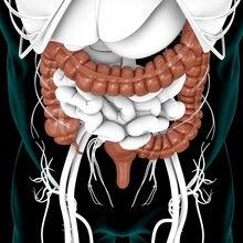 Large Intestine 3D Illustration Human Digestive System Anatomy