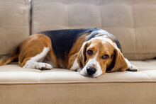The Dog Beagle Lies On The Couch On A Sunny Day. Dog With A Sad Expression. High Quality 4k Footage