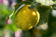 Close Up Of A Ripe Yellow Lemon Fruit On Branch.