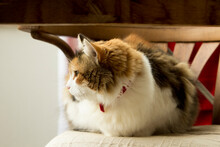 Full-body Front Portrait Of A Tricolor Cat Staring At Left Sitting On Rustic Chair.