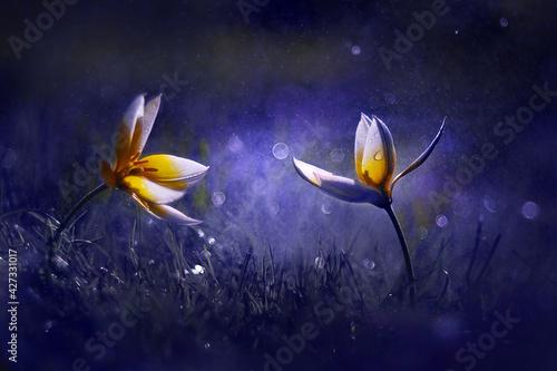Obraz Tulipan botaniczny - fototapety do salonu