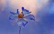 Kwiat Eustoma. Blue flowers. Piękny niebieski kwiat na niebieskim tle z flarą i efektem bokeh w tle. Wolna przestrzeń