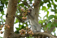 Vervet In The Hluhluwe Imfolozi Game Reserve. Group Of Monkeys Eating Fruits On The Tree. Vervet Monkey In The African Nature.