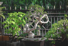 Photographing Bonsai In The Morning. Bonsai Is A Plant Or Tree That Is Dwarfed In Shallow Pots With The Aim Of Making Miniatures From The Original Form Of Large Tree