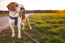 Dog Portrait Back Lit Background. Beagle Standing In Grass