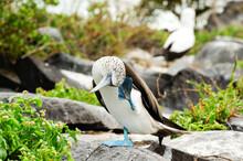 Blue Footed Boobie Bird