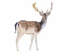 Deer Isolated On White   Nature Wildlife Illustration