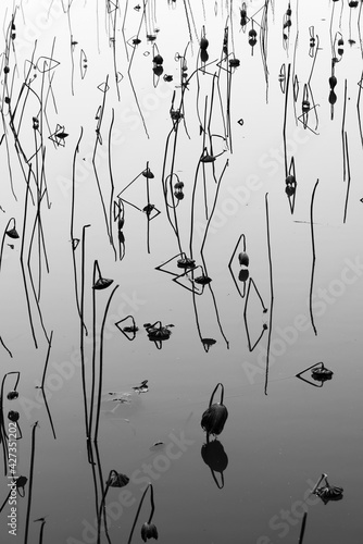 Fototapeta Silhouette of wilted lotus flower in pond. Natural background