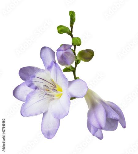 Fotografie, Obraz Purple freesia flower and buds