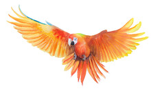 Beautiful Bird Parrot Macaw Hand Paint Watercolor On Paper With White Background
