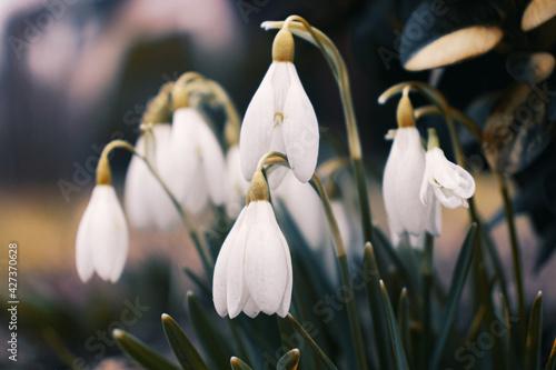 Obraz white crocus flowers - fototapety do salonu