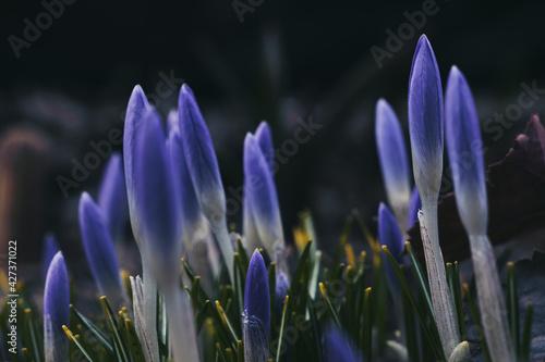 Obraz spring crocus flowers - fototapety do salonu
