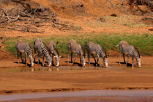 Groupe De Zèbre De Grevy Equus Grevyi Afrique Samburu Kenya