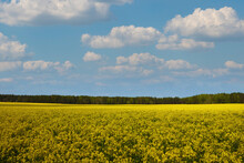 Blooming Yellow Rapeseed Field In Spring Or Summer.