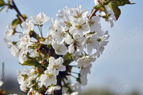Farm of young cherry trees during blossom in spring. Fototapeta