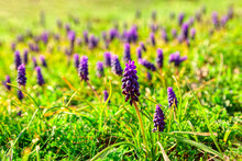 Meadow With Grape Hyacinth Flowers . Blossom Wild Flowers In The Springtime