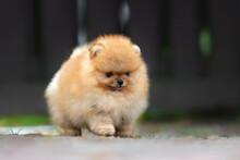 Small Pomeranian Spits Puppy Walking Outdoors