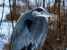 Close-Up Of A Great Blue Heron, Canada