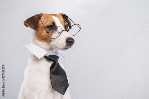 Papel de parede Jack russell terrier dog with glasses and tie on white background