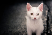 Close-Up Portrait Of A White Cat Sitting On Pavement