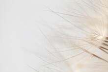 White Fluff Tips Dandelion