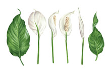 Watercolor Illustration Of Spathiphyllum Flowers, Buds And Leaves. Peace Lily Floral Design Elements Set.